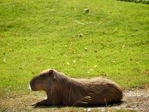 Leccatura di capybara Fotografia Stock