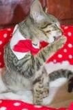 Leccatura a strisce del gatto Fotografie Stock