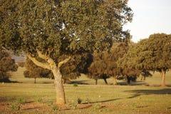 Lecci della quercia, ilex in un parco mediterraneo di Cabaneros della foresta, Spagna Fotografia Stock Libera da Diritti