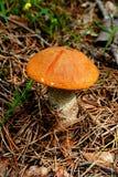 Leccinum μανιταριών Στοκ εικόνα με δικαίωμα ελεύθερης χρήσης
