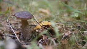 Leccinum στο δάσος φθινοπώρου απόθεμα βίντεο