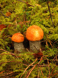 Leccinum aurantiacum. Two red-capped scaber stalk in the moss Royalty Free Stock Photography