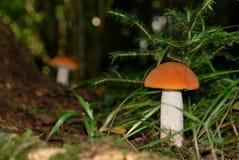 Leccinum aurantiacum. Royalty Free Stock Photo