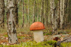 Leccinum aurantiacum, commonly called red capped scaber stalk fungus Royalty Free Stock Images