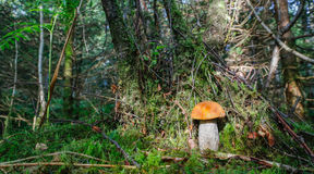 Leccinum Aurantiacum Royalty Free Stock Photography