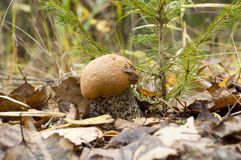 Leccinum aurantiacum. Edible mushroom Royalty Free Stock Photo