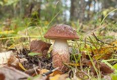 Leccinum aurantiacum. Edible mushroom Stock Image