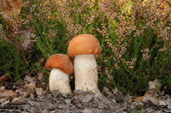 Leccinum aurantiacum fungus Stock Photo