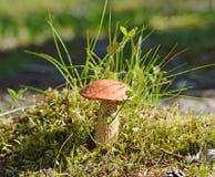 Leccinum aurantiacum Stock Image