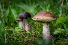 Leccinum carpini ono rozrasta się w trawie zdjęcie royalty free