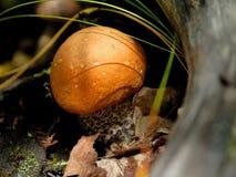 Leccinum de champignon Photos libres de droits