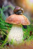Leccinum on grass with snail. Shallow depth of field Royalty Free Stock Images