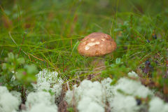 Leccinum growing among grass and moss Stock Images