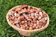 Leccinum Royalty Free Stock Image