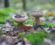 Leccinum mushroom Stock Image