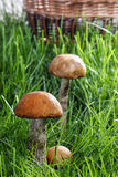 Leccinum mushrooms (aspen mushrooms) Royalty Free Stock Photography