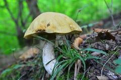 Leccinum pseudoscabrum Stock Photo