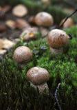 Leccinum scabrum. Stock Photography