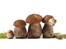 Leccinum scabrum Stock Image