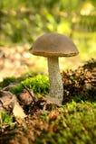 Leccinum scabrum mushroom Stock Image