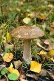 Leccinum scabrum mushroom Royalty Free Stock Images