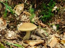 Leccinum scabrum mushroom in real environment Stock Photo