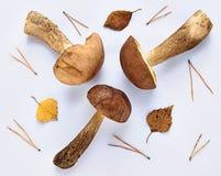 Leccinum scabrum ono rozrasta się na białym tle z liśćmi i iglastymi igłami zdjęcia stock