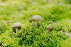 Leccinumscabrum Boletaceaeis een eetbare paddestoel in het mos Stock Foto
