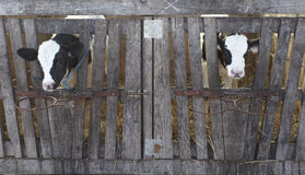 Leche bovina de la agricultura de la granja de la vaca Foto de archivo libre de regalías