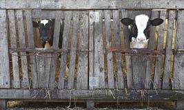Leche bovina de la agricultura de la granja de la vaca Fotos de archivo