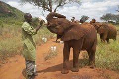 Leche de alimentación del encargado del elefante africano a los elefantes africanos adoptados del bebé en David Sheldrick Wildlif Foto de archivo