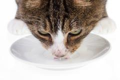 Leche de consumo 3 del gato Foto de archivo