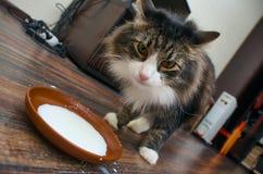 Leche de consumo del gato Imagenes de archivo
