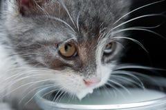 Leche de consumo del gato Foto de archivo
