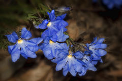 Lechenaultia biloba. Is an Australian native plant, blooming extensively in spring. This very deep blue flowering growing covering plant can be found Royalty Free Stock Photos