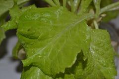 lechuga Imagen de archivo libre de regalías