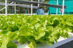 Lechuga cruda de la ensalada verde que crece en tubo plástico en el hidrocultivo O imagen de archivo