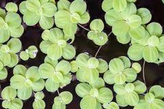 Lechuga de agua verde Foto de archivo