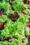Lechuga de hoja verde y roja imagenes de archivo