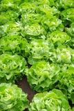 Lechuga fresca de la ensalada verde Fotos de archivo
