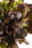Lechuga fresca del roble rojo Foto de archivo