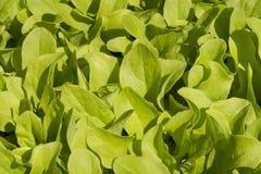 Lechuga fresca en jardín Imagen de archivo libre de regalías