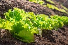 Lechuga orgánica que crece en el jardín Foto de archivo libre de regalías
