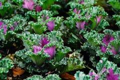 Lechuga púrpura vegetal imagen de archivo libre de regalías