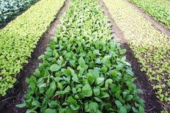 Lechuga plantada Foto de archivo