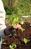 Lechuga a plantar en suelo fresco Fotografía de archivo