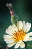 Lechuga principal con el flor Imágenes de archivo libres de regalías