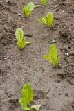 Lechuga que crece en el suelo Fotos de archivo libres de regalías