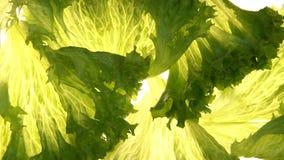 Lechuga que pone en el fondo blanco, ingrediente para la ensalada, dieta sana de la vitamina almacen de video