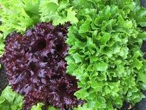 Lechuga rizada de cosecha propia en el color púrpura y la otra ensalada fresca l Foto de archivo